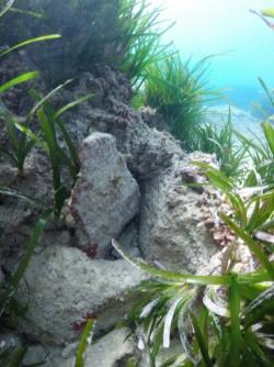 Playa La Caleta - Playa La Caleta - Fondo marino rocoso con posidonia y ejemplar de molusco nudibranquio.