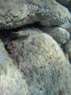 Snorkel playa del Charco - Snorkel playa del Charco - Ejemplar de pez Corbacho entre las rocas.