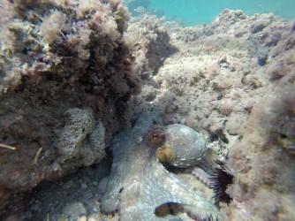 Snorkel playa del Charco - Snorkel playa del Charco - Pulpo que descubrimos entre las rocas. Su camuflaje imita cualquier color y también imita la textura de las algas que lo envuelven generando picos con su piel.