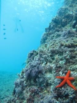 Racó del Corb - Racó del Corb - Estrella de mar en el acantilado de la sierra de Toix