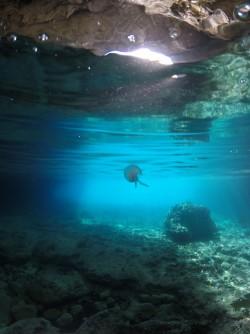 Cova del Llop Marí - Cova del Llop Marí - Medusa nadando en la cueva. Fondo marino rocoso