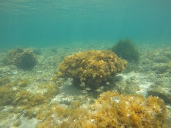 Snorkel en Playa de la Fosa - Snorkel en Playa de la Fosa - Formación rocosa repleta de plantas marinas con grupo de Mojarras alrededor.