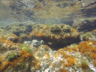 Snorkel en Playa de la Fosa - Snorkel en Playa de la Fosa - Fondo marino rocoso con plantas y ejemplar de sargo breado.