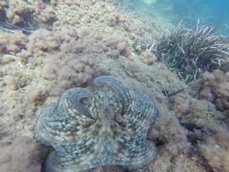 Snorkel en Cala Racó de Conill - Snorkel en Cala Racó de Conill - Pulpo camuflado sobre el fondo marino.