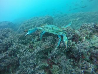 Cala Les Urques - Cala Les Urques - Cangrejo azul. Fondo marino, practica de snorkel o buceo.