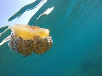 Playa del Torres - Playa del Torres - Medusa tipo huevo frito
